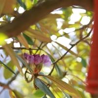 Rhododendron an Spritzdüse. Ostersonntag, 12.04.2020