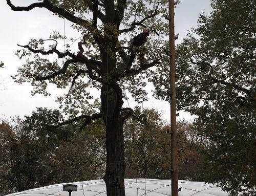 14 Fotos: Baumschnitt am 12./13.11.2020